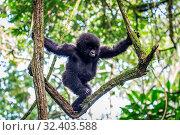 Купить «Baby Mountain gorilla climbing in a tree in the Virunga National Park, Democratic Republic Of Congo.», фото № 32403588, снято 17 ноября 2019 г. (c) easy Fotostock / Фотобанк Лори