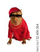 Купить «American Pit Bull Terrier dog dressed in a red tee shirt and a cap», фото № 32406364, снято 30 октября 2019 г. (c) Алексей Кузнецов / Фотобанк Лори