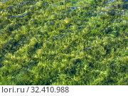Купить «Green algae covering a bottom of shallow lake», фото № 32410988, снято 23 июня 2019 г. (c) EugeneSergeev / Фотобанк Лори