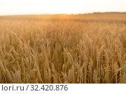 Купить «cereal field with ripe wheat spikelets», фото № 32420876, снято 26 июля 2019 г. (c) Syda Productions / Фотобанк Лори