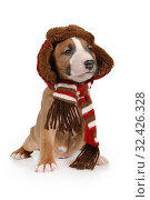 Miniature Bull Terrier puppy wearing a warm hat and scarf. Стоковое фото, фотограф Алексей Кузнецов / Фотобанк Лори