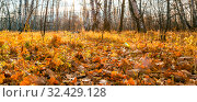 Beautiful bright sunny colorful autumn landscape. Morning among trees with foliage in nature outdoors in an orange-yellow golden forest in fine warm weather in October in the fall season. Стоковое фото, фотограф Светлана Евграфова / Фотобанк Лори