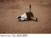 Купить «Cow skull on dry cracked soil at drought», фото № 32429880, снято 8 июля 2019 г. (c) Михаил Коханчиков / Фотобанк Лори