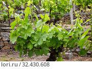 Купить «Vineyards, Ribeira Sacra, Heroic Viticulture, Sil river canyon, Doade, Sober, Lugo, Galicia, Spain», фото № 32430608, снято 23 мая 2019 г. (c) age Fotostock / Фотобанк Лори