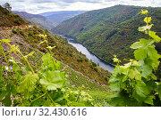 Купить «Vineyards, Ribeira Sacra, Heroic Viticulture, Sil river canyon, Doade, Sober, Lugo, Galicia, Spain», фото № 32430616, снято 23 мая 2019 г. (c) age Fotostock / Фотобанк Лори