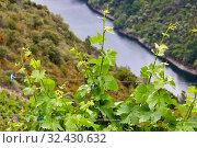 Купить «Vineyards, Ribeira Sacra, Heroic Viticulture, Sil river canyon, Doade, Sober, Lugo, Galicia, Spain», фото № 32430632, снято 23 мая 2019 г. (c) age Fotostock / Фотобанк Лори