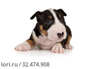 Купить «Miniature Bull Terrier puppy lying on a white background», фото № 32474908, снято 13 ноября 2019 г. (c) Алексей Кузнецов / Фотобанк Лори