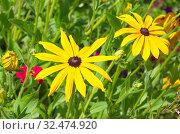 Купить «Желтая рудбекия (лат. Rudbeckiа) цветет в летнем саду», фото № 32474920, снято 7 августа 2019 г. (c) Елена Коромыслова / Фотобанк Лори