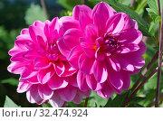 Розовые георгины крупным планом. Стоковое фото, фотограф Елена Коромыслова / Фотобанк Лори