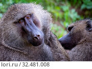 Female olive baboon grooms mate in close-up. Стоковое фото, фотограф Zoonar.com/nwd / easy Fotostock / Фотобанк Лори