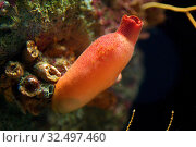 Купить «Red sea squirt (Halocynthis papillosa) is a filter ascidiacea.», фото № 32497460, снято 18 февраля 2014 г. (c) age Fotostock / Фотобанк Лори