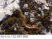 Mediterranean banded centipede (Scolopendra cingulata) is a carnivorous myriapode native to Mediterranean Basin. Стоковое фото, фотограф J M Barres / age Fotostock / Фотобанк Лори