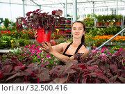 Купить «Cheerful woman florist holding potted flowers Iresine Herbstii Brillantissima», фото № 32500416, снято 14 декабря 2019 г. (c) Яков Филимонов / Фотобанк Лори