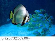 Купить «Рыба Голубой платакс  (Platax orbicularis) на фоне стайки рыбок в морской воде», фото № 32509004, снято 6 мая 2019 г. (c) Татьяна Белова / Фотобанк Лори