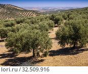 Spain, Andalusia, Cordoba, olives groves, near Baena. Стоковое фото, фотограф J.D. Dallet / age Fotostock / Фотобанк Лори