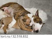 Купить «Miniature Bull Terrier mom dog hugs her puppy lying on a fur rug», фото № 32518832, снято 13 ноября 2019 г. (c) Алексей Кузнецов / Фотобанк Лори