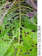 Купить «Leaky Green Leaf Damaged by Pests.», фото № 32526364, снято 28 июля 2019 г. (c) Акиньшин Владимир / Фотобанк Лори