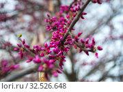 Closeup of lilac flowers, Uzbekistan. Стоковое фото, фотограф Руслан Аюпов / Фотобанк Лори