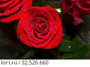 Water drops on red rose. Стоковое фото, фотограф Руслан Аюпов / Фотобанк Лори