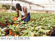 Купить «Confident farmer working with asplenium antiquum seedlings in greenhouse», фото № 32536316, снято 29 октября 2019 г. (c) Яков Филимонов / Фотобанк Лори