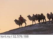 Купить «China, Inner Mongolia, Hebei Province, Zhangjiakou, Bashang Grassland, Mongol driving a camel caravan of Bactrian camel (Camelus bactrianus).», фото № 32576188, снято 24 декабря 2018 г. (c) age Fotostock / Фотобанк Лори