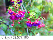 Купить «Flowering purple fuchsia.», фото № 32577180, снято 17 июня 2017 г. (c) Акиньшин Владимир / Фотобанк Лори