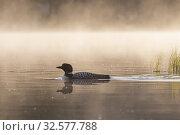 Купить «United States, Michigan, Common Loon (Gavia immer), on a lake.», фото № 32577788, снято 16 июня 2019 г. (c) age Fotostock / Фотобанк Лори