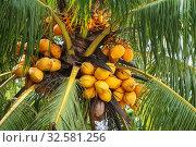 Philippines. Palawan Island. Coconuts on a palm tree. Стоковое фото, фотограф Степанов Илья / Фотобанк Лори