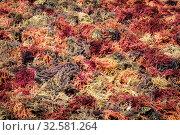 Philippines. Palawan Island. Dry seaweed. Стоковое фото, фотограф Степанов Илья / Фотобанк Лори