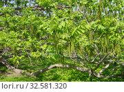 Маньчжурский орех (лат. Juglans mandshurica) солнечным весенним днем. Стоковое фото, фотограф Елена Коромыслова / Фотобанк Лори
