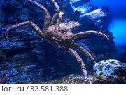 Купить «Камчатский краб. Paralithodes camtschaticus.», фото № 32581388, снято 22 марта 2019 г. (c) Татьяна Белова / Фотобанк Лори
