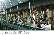 Купить «Process of machine milking of cows on farm. Back view of cows with milking clusters on udders», видеоролик № 32581656, снято 9 июня 2019 г. (c) Яков Филимонов / Фотобанк Лори