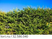 Hedge of green fir trees against the blue sky. Стоковое фото, фотограф Zoonar.com/kavram / easy Fotostock / Фотобанк Лори