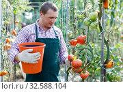 Купить «Man professional gardener picking tomatoes to bucket in sunny greenhouse», фото № 32588104, снято 13 августа 2018 г. (c) Яков Филимонов / Фотобанк Лори
