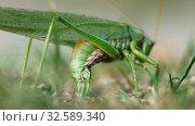 Купить «Big green locust female lays eggs», видеоролик № 32589340, снято 1 сентября 2019 г. (c) Игорь Жоров / Фотобанк Лори
