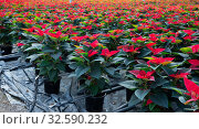 Купить «Greenhouse with rows of Poinsettia», фото № 32590232, снято 11 декабря 2019 г. (c) Яков Филимонов / Фотобанк Лори