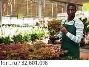 Купить «Florist arranging ornamental plants in pots», фото № 32601008, снято 22 мая 2019 г. (c) Яков Филимонов / Фотобанк Лори