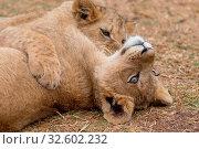 Lion cub South africa. Стоковое фото, фотограф Zoonar.com/matthieu gallet / easy Fotostock / Фотобанк Лори