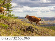 Купить «in late autumn, a young cow walks along the slopes of the mountains of the Southern Urals, the Republic of Bashkortostan.», фото № 32606960, снято 19 сентября 2019 г. (c) Акиньшин Владимир / Фотобанк Лори