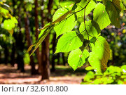 Купить «Leaves of linden tree close up illuminated by sun in urban park in sunny day at the beginning of autumn», фото № 32610800, снято 4 июля 2020 г. (c) easy Fotostock / Фотобанк Лори