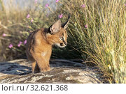 Caracal (Caracal caracal), Occurs in Africa and Asia, Young animal 9 weeks old, Walking in the rocks, Captive. Стоковое фото, фотограф Morales / age Fotostock / Фотобанк Лори