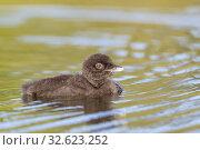 Купить «United States, Michigan, Common Loon (Gavia immer), on a lake, baby.», фото № 32623252, снято 22 июня 2019 г. (c) age Fotostock / Фотобанк Лори