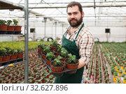 Купить «Young man gardener puts the pots of tomatoes seedling on the shelf», фото № 32627896, снято 9 апреля 2019 г. (c) Яков Филимонов / Фотобанк Лори