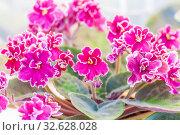 Купить «Blooming Uzumbar violet pink on a summer day», фото № 32628028, снято 24 августа 2019 г. (c) Акиньшин Владимир / Фотобанк Лори