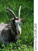 Купить «Домашний козел (лат. Capra aegagrus hircus)», эксклюзивное фото № 32638260, снято 14 мая 2010 г. (c) lana1501 / Фотобанк Лори