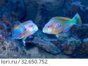 Купить «Рыба-попугай (Parrotfish). Два самца в брачный период», фото № 32650752, снято 15 декабря 2019 г. (c) Татьяна Белова / Фотобанк Лори