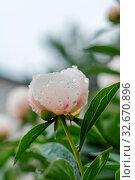 Купить «Showy peony flower and buds with dew drops on the plants», фото № 32670896, снято 21 января 2020 г. (c) easy Fotostock / Фотобанк Лори