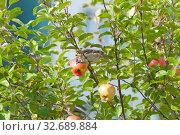 Купить «Воробей на яблоне, растущей в черте города», фото № 32689884, снято 8 сентября 2019 г. (c) Румянцева Наталия / Фотобанк Лори
