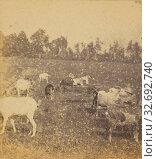 Купить «Pastoral scene with goats, Adolphe Braun (French, 1812 - 1877), about 1865, Albumen silver print», фото № 32692740, снято 17 июня 2019 г. (c) age Fotostock / Фотобанк Лори