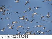 Купить «Flock of Seagulls, Iceland.», фото № 32695524, снято 1 августа 2019 г. (c) age Fotostock / Фотобанк Лори